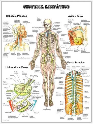 3 posters anatomia 65cmx100cm muscular esquelético linfático