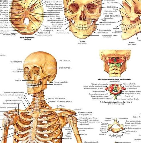 3 posters anatomia 65x100cm muscular esquelético acupuntura