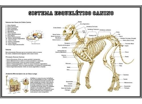 3 posters clínica veterinária 65cmx100cm - anatomia cachorro