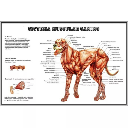 3 posters medicina veterinária 65x100cm anatomia cachorro