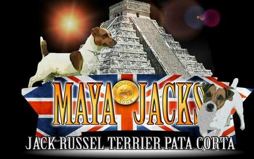 3 sementale jack russell maquila pedigree azul internacional