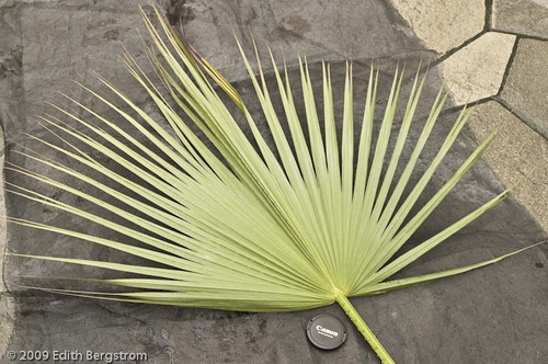 3 semillas de brahea edulis - palma de guadalupe codigo 1341