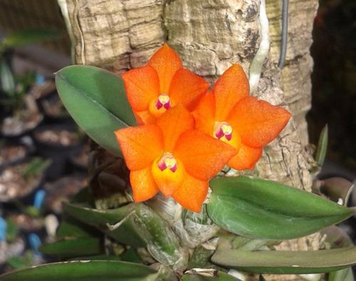 3 sophronitis cernua adultas e plantadas
