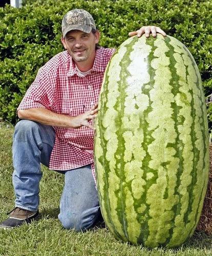 30 sementes de melancia congo gigantela  mudas  frete gratis