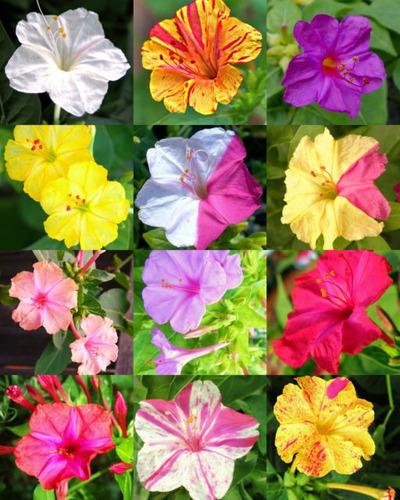 30 sementes flor maravilha mirabilis jalapa sortidas