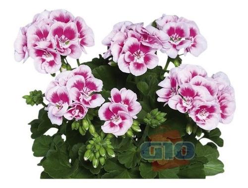 30 sementes kit gerânio planta flores bonsai + frete grátis
