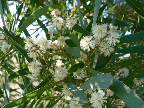 30 semillas de acacia