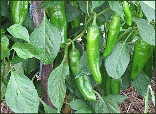 30 semillas de chile orgánico de anaheim