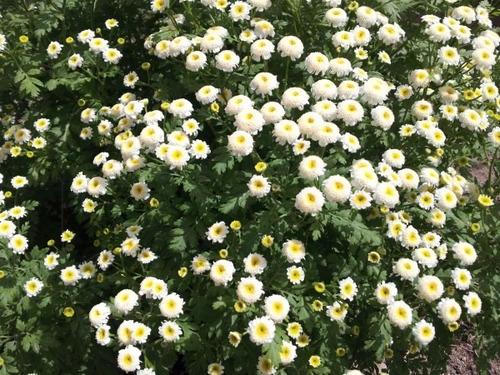 30 semillas de piretro. insecticida orgánico chau bicho moro