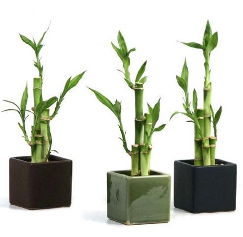 30 semillas lucky bambú de la suerte + regalo + envió gratis