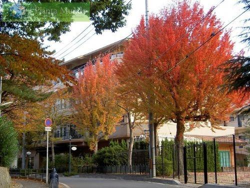 30 Semillas Trident Maple Acer Buergerianum Bonsai O árbol 149