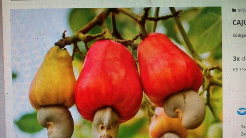 300 sementes de  caju anão precoce selecionadas para plantio
