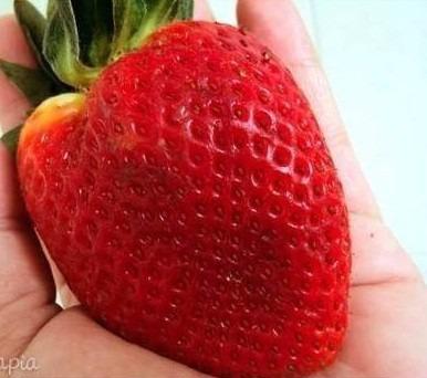300 sementes de morango hibrido gigantella + envio gratis!