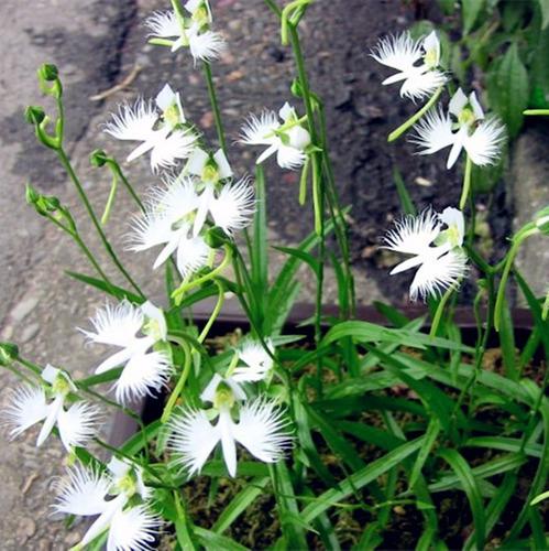 300 sementes orquídea pombo  branco exóticas raras/p mudas