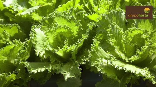 3.000 + 3.000 sementes alface rubinela / brunela frete free