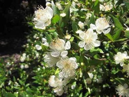 3000 sementes murta de cheiro p/mudas cerca viva e bonsai.