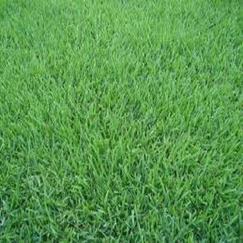 30.000 semente grama esmeralda tratada