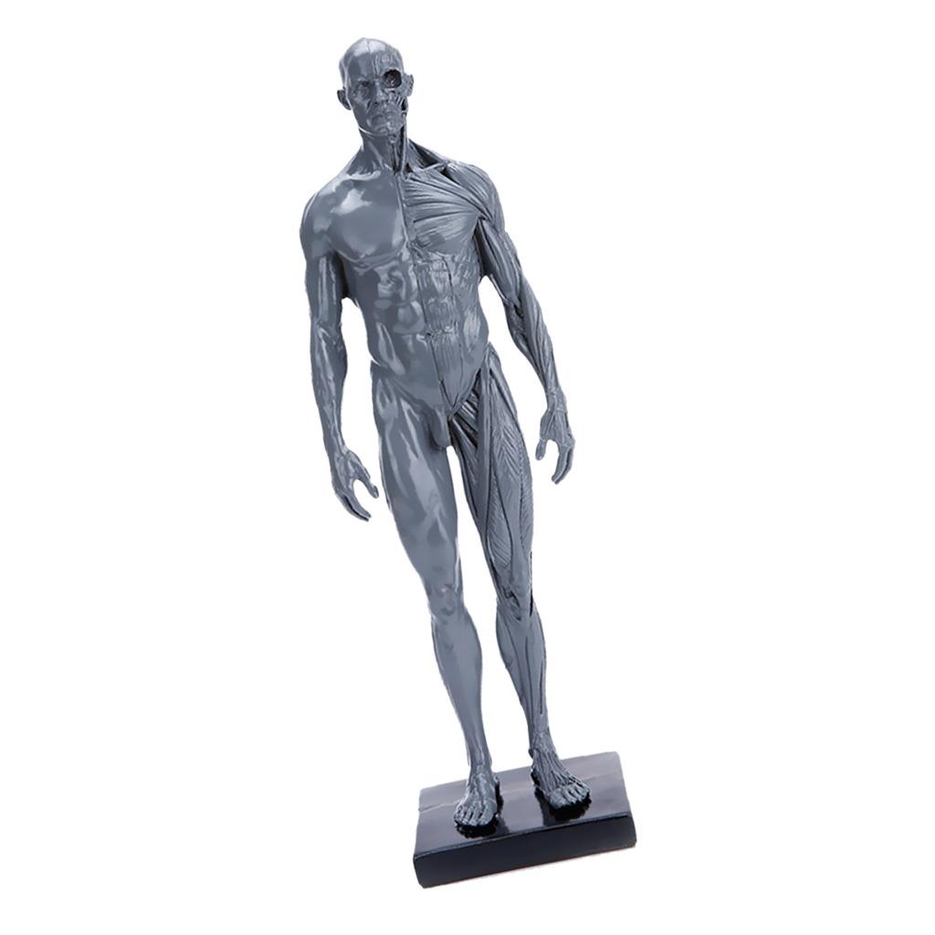 30cm Esqueleto Humano Músculo Modelo Anatómico Médica Com - $ 84.702 ...