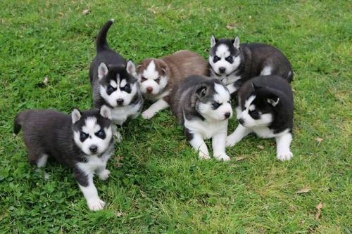 35 cachorros husky compara calidad