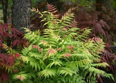 35 semillas de sorbaria sorbifolia - falsa spirea codigo 790