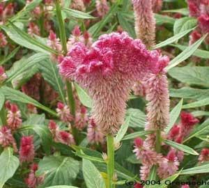 380 semillas de celosia var. cristata - cristata roja $39