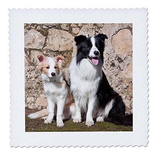 3drose qs_88788_1 un perro collie de la frontera para adulto