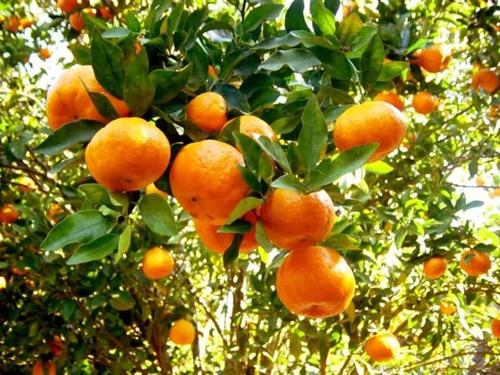 3kg forth frutas laranja manda uva caju jabuticaba etc