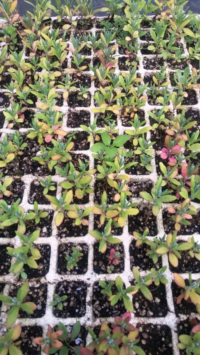 4 pl ntulas de lavanda inglesa aromatica cultivo organico for Lavanda cultivo o cuidados