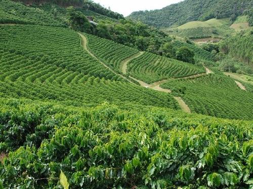 40 sementes café arábica resistente à seca pragas e doenças