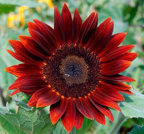 40 sementes da flor girassol sol vermelho # pronta entrega