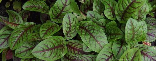 40 sementes de azedinha veias vermelhas almeirão roxo  rumex