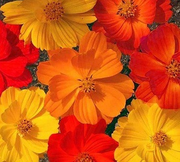40 sementes de cosmos anãs sortidos flor para mudas