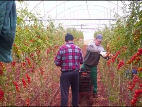 40 sementes de tomate cereja italiano (importadas)