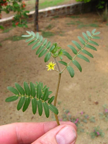 40 sementes de tribulus terrestris original frescas + manual