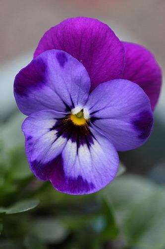 40 sementes de viola - amor-perfeito