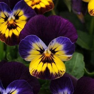 40 sementes de viola - amor-perfeito - frete grátis