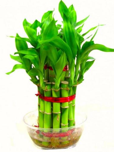 40 semillas lucky bambú de la suerte + regalo + envió gratis