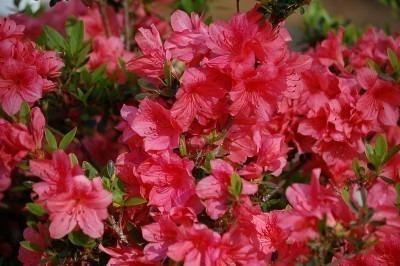 400 sementes da flor azaléia sortida (godétia)  frete grátis