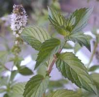 400  semillas de mentha x piperita - menta codigo 201