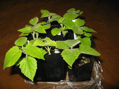 400 semillas kiri paulownia maderable