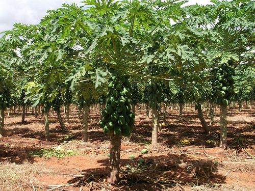 4.000 sementes mamão formosa híbrido tainung - emb. lacrada