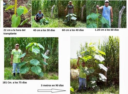 4000 semillas  arbol paulownia  elongata