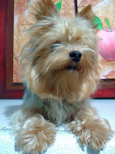 $400.000   yorkshire terrier lomo plateado para monta