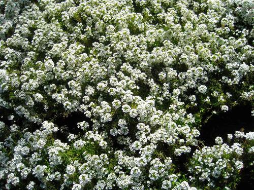 45 semillas de panalillo blanco