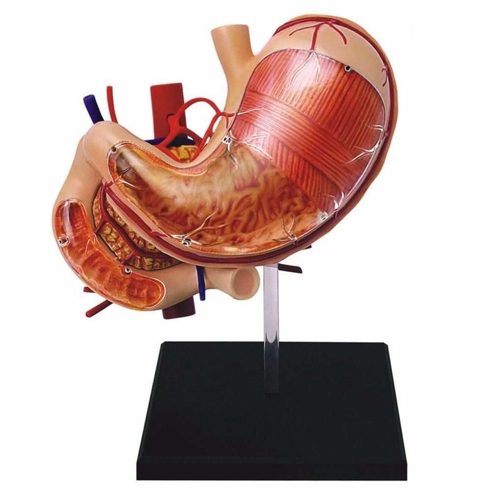 4d Human Modelo Estomago Humano Anatomia Humana 12 Piezas - $ 75.000 ...