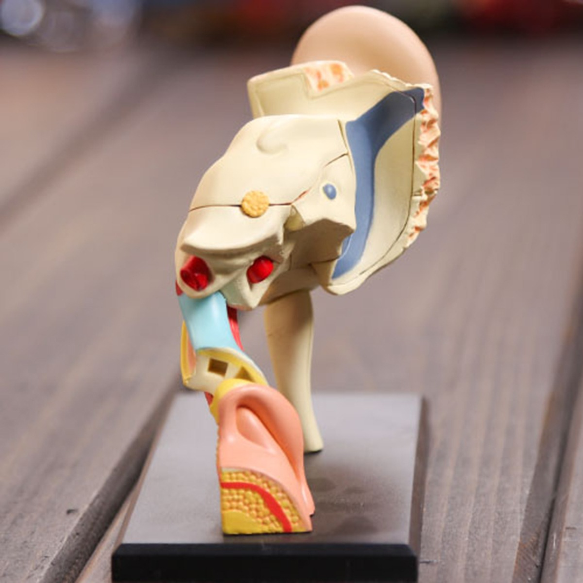 Dorable Muscular Hoja De Cálculo De La AnatomÃa Imágenes - hojas de ...