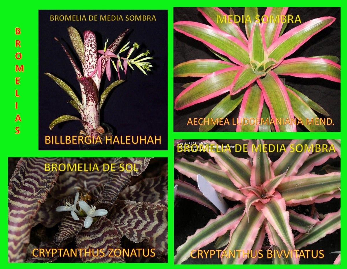 5 bromelias por 550 en mercado libre for Pececillo nuevo de cualquier especie