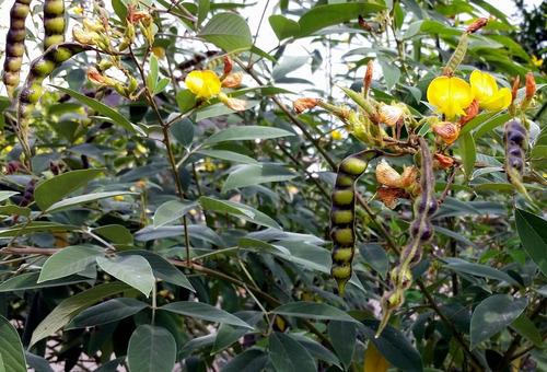 5 kg de semillas frijol gandul - cajanus cajan cv caqui