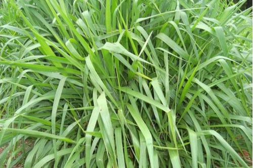 5 kg semillas pasto brachiaria brizantha cv marandu insurgen