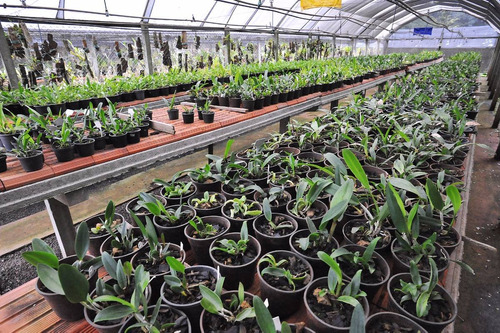 5 mudas corte lindas orquidea cattleya pronta entrega